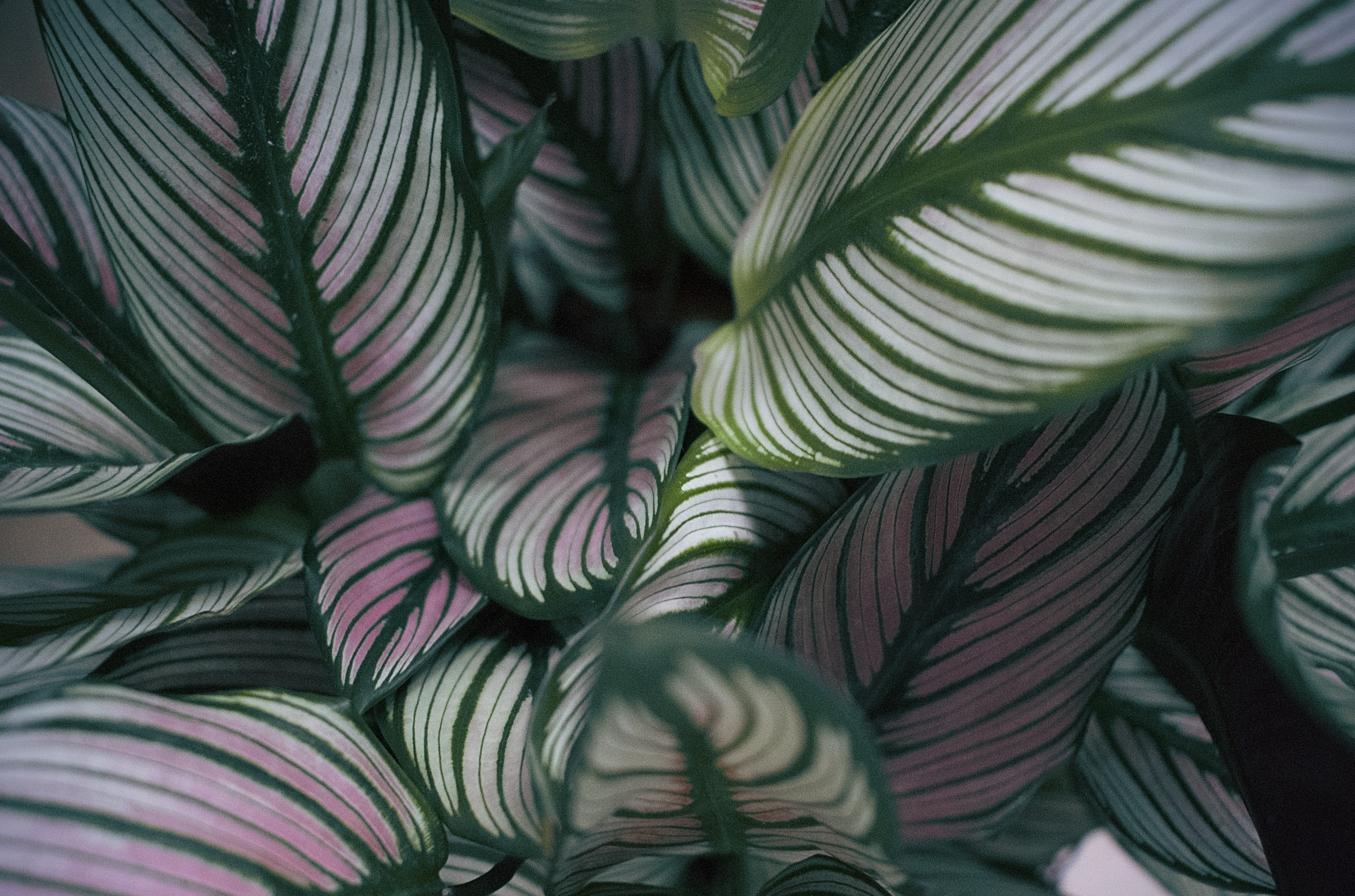 How To Not Kill Your Calathea Prayer Plant Marantaceae Care Of Greens And Fluff